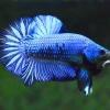 คัดเกรดปลากัดครีบสั้น-Halfmoon Plakad Fancy Blue Light Qaulity Grade