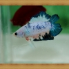  - Fancy Halfmoon Plakats Double Tails