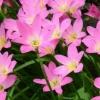บัวดินสีขมพูดอกเล็ก (จำนวน 10 หัวต่อ 1 แพ็ค)