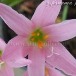 บัวดินzephyranthes panamapink