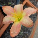 Rain Lily Zephyranthes Batik