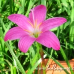 บัวดินพันธุ์ FadJar Pink(5หัว)