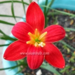zephyranthes pride of singapore