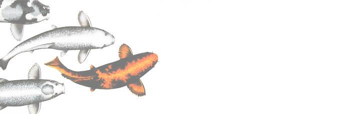 ปลากัดหลายตัว