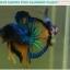 """(ขายแล้วครับ)""""คัดเกรด""""ปลากัดครีบสั้น-Halfmoon Plakats Fancy Green Blue Samuri Mustrad thumbnail 11"""