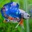 คัดเกรดปลากัดครีบสั้น-Halfmoon Plakat Fancy Blue Mable Quality Grade thumbnail 4